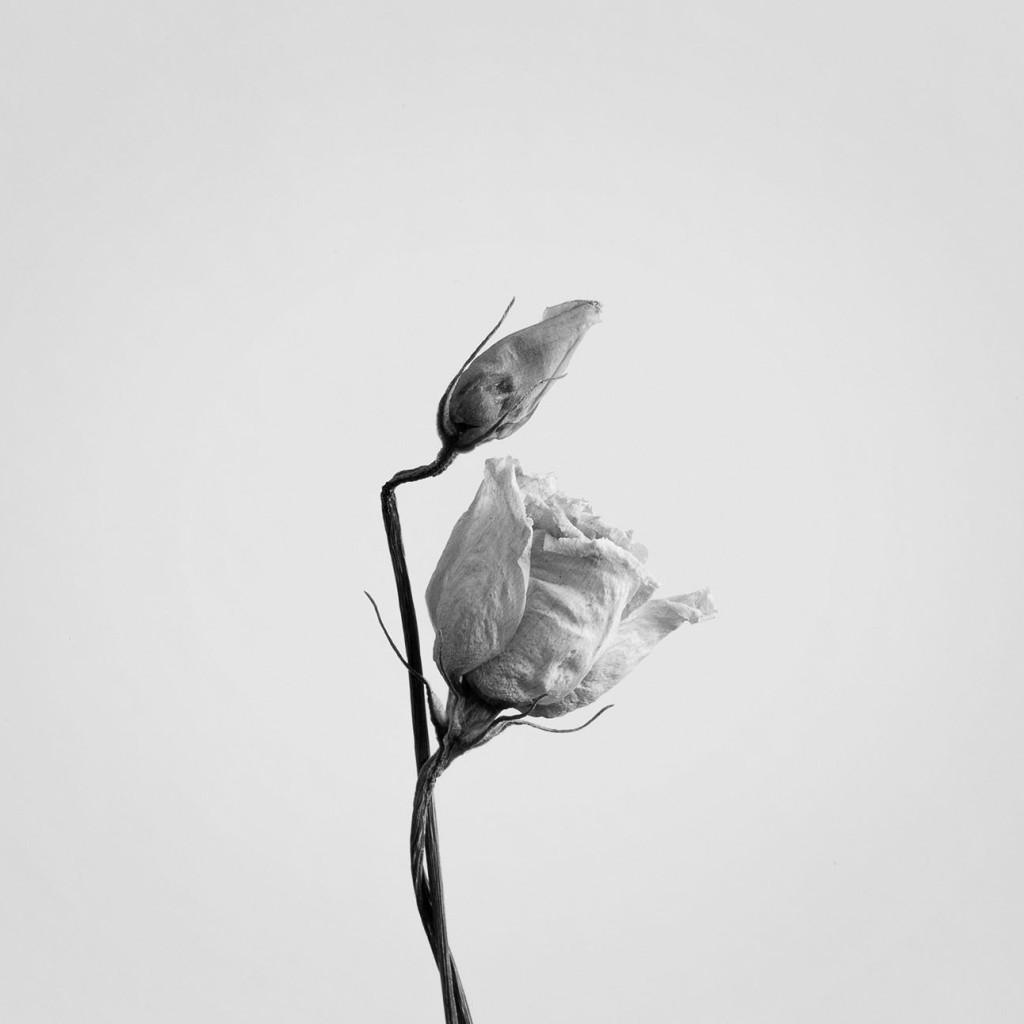 Fotografia naturalistica: rosa secca in bianco e nero