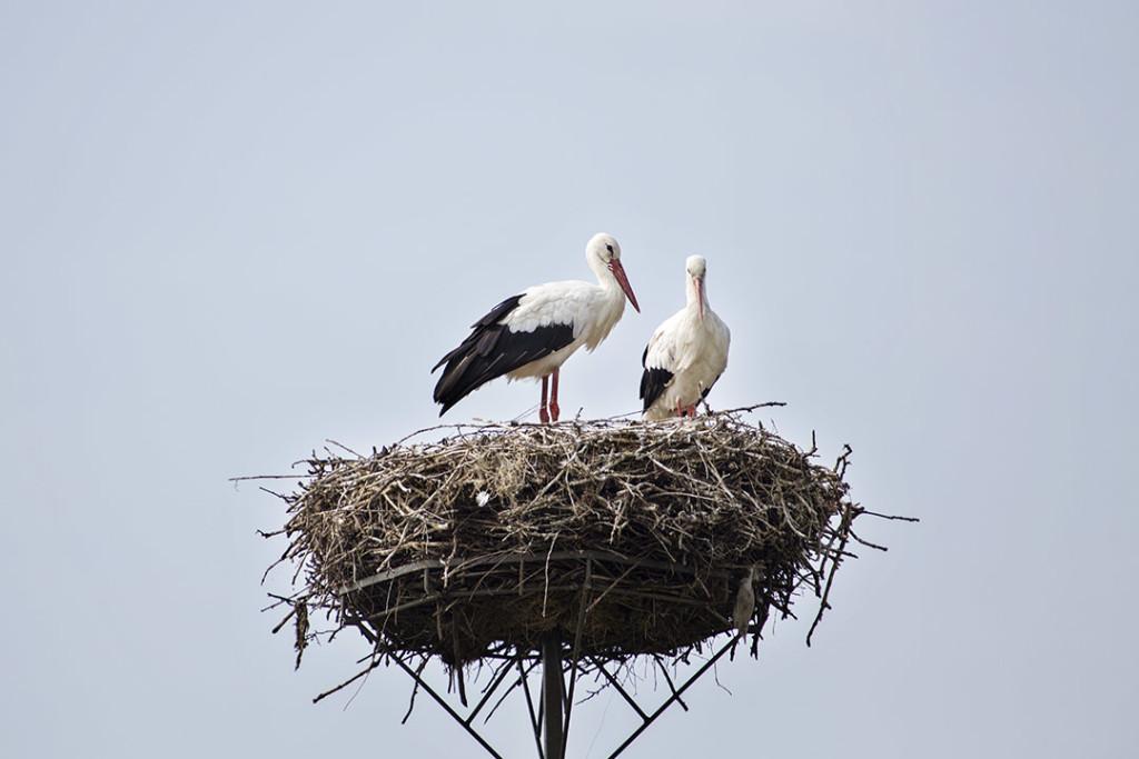 Storks near Białowieza forest