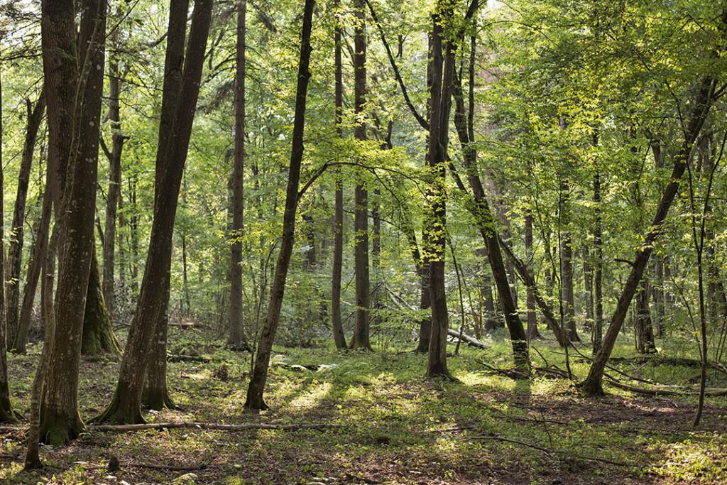 Białowieza forest