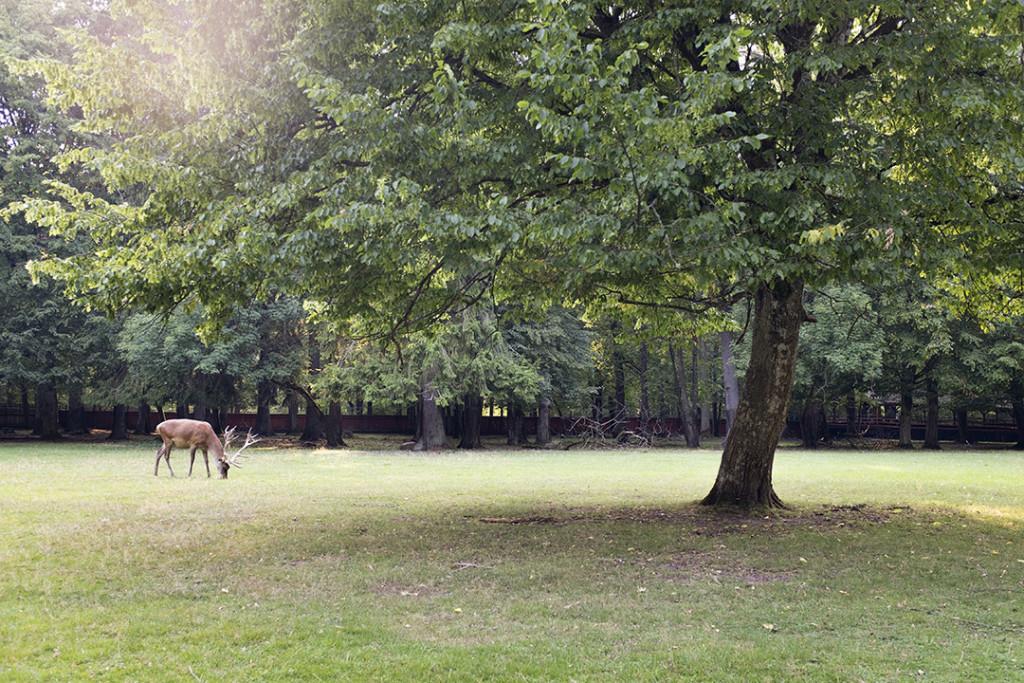 Deer in Białowieza forest