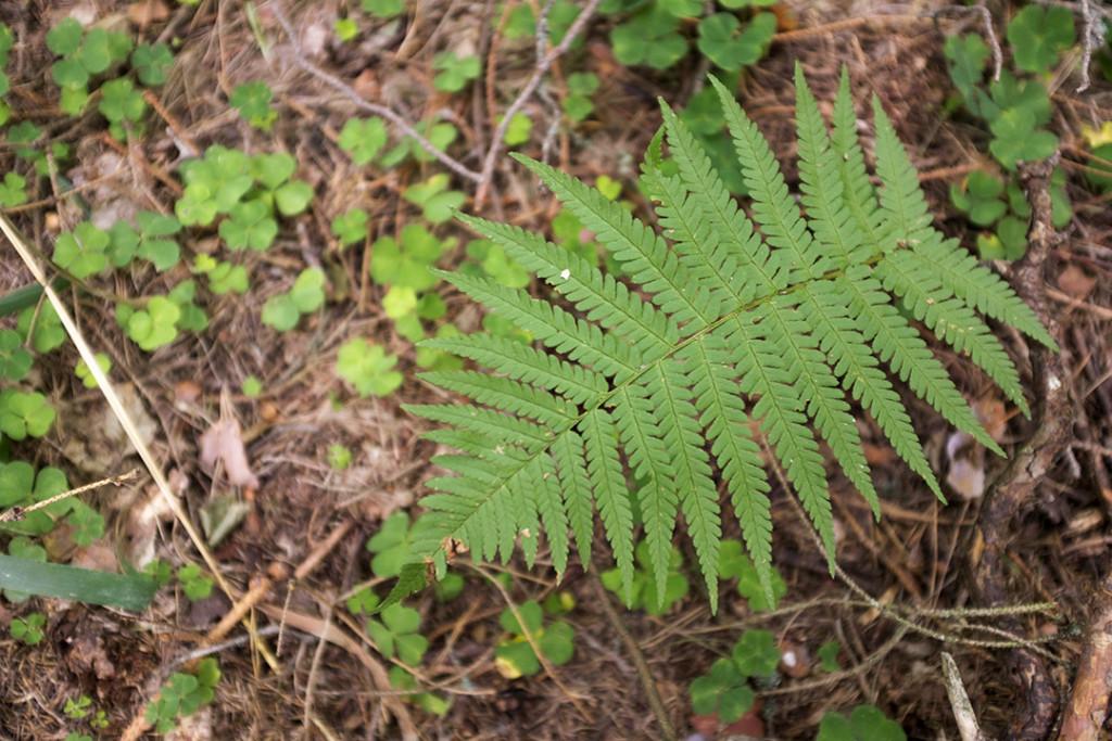 Fern in Białowieza forest